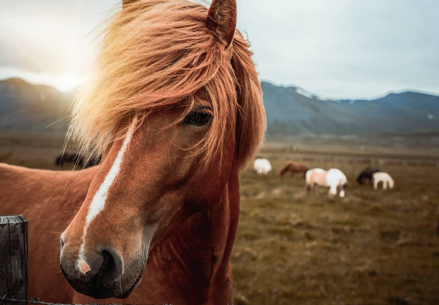 Icelandic Horse in Field