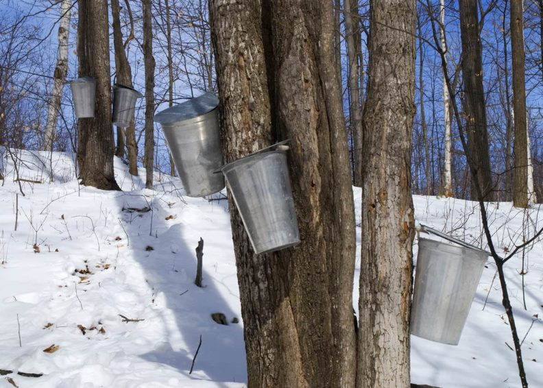 Maple Syrup Farm