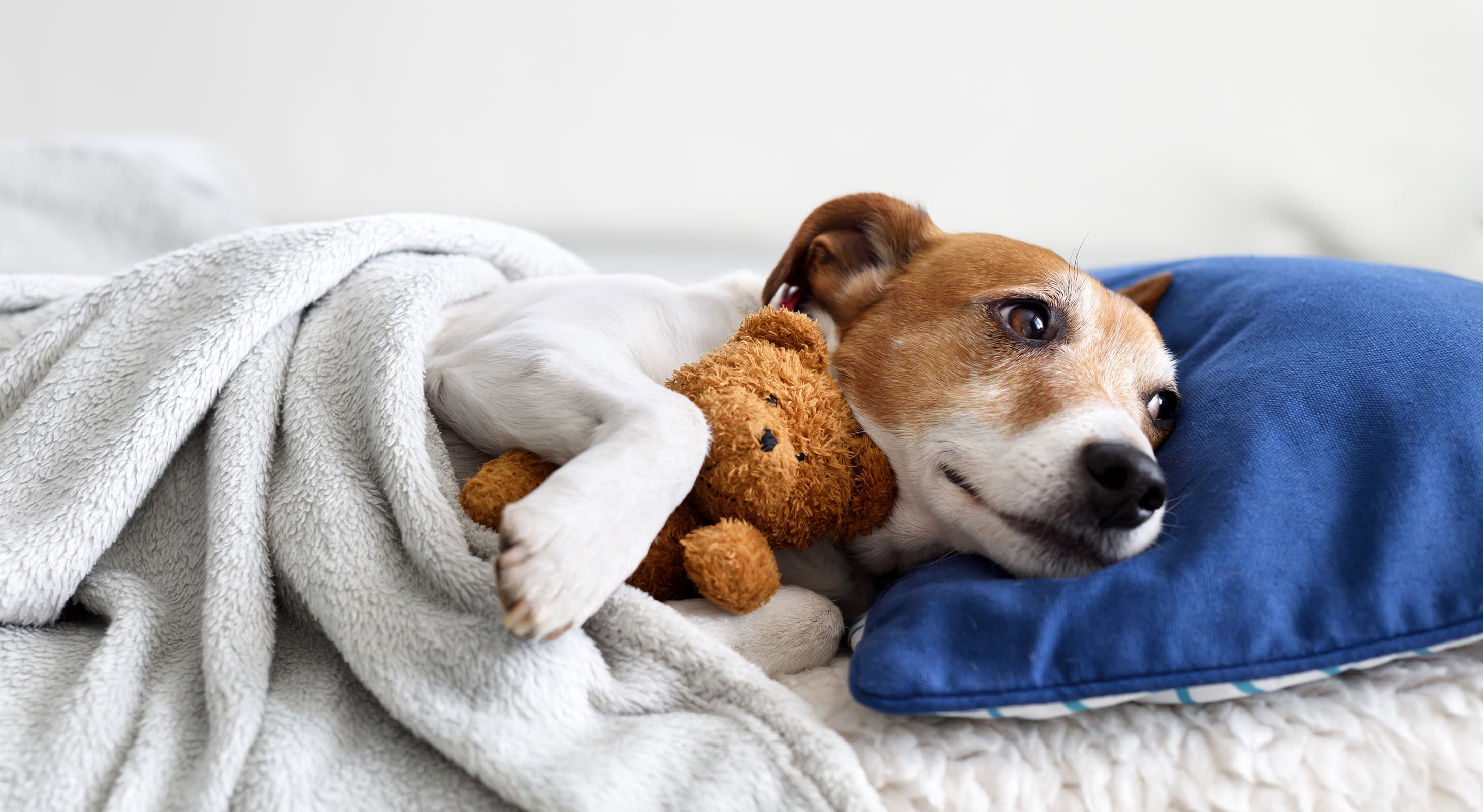dog cuddled up with a blanket, pillow, and teddy bear at our Camden pet-friendly hotel